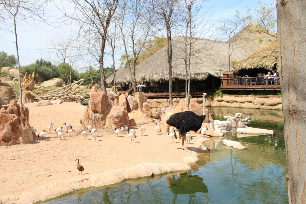 Un avestruz y al fondo la terraza del restaurante Samburu. Bioparc Valencia