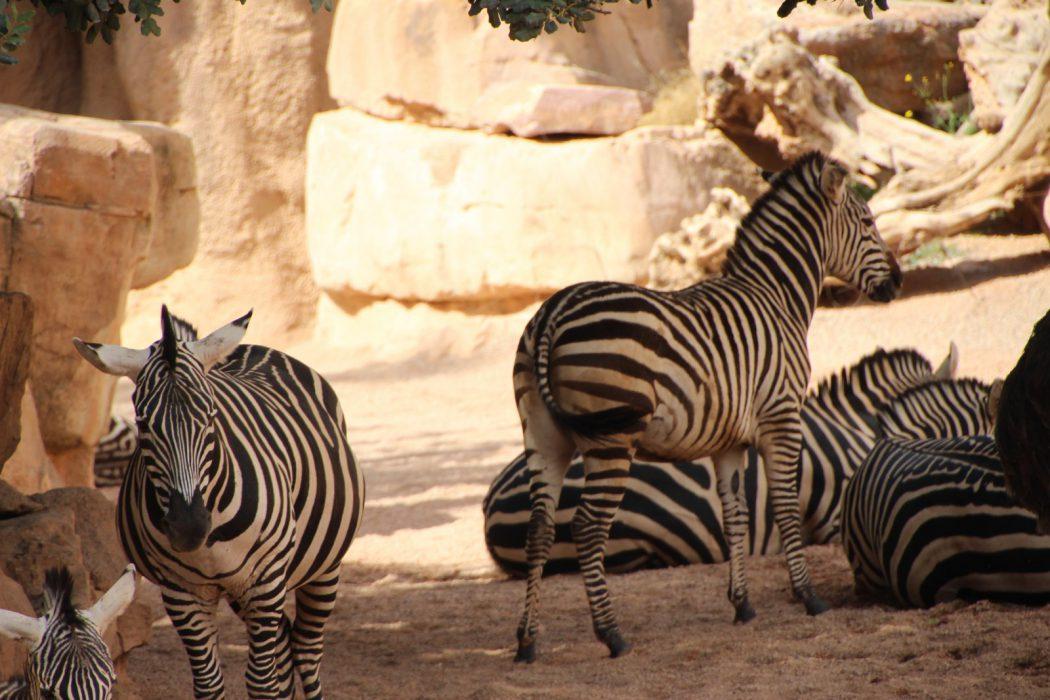 Cebras. Bioparc Valencia
