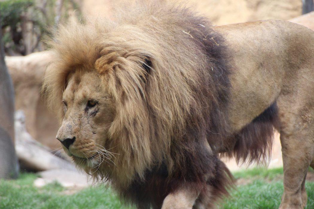Un león. Bioparc Valencia