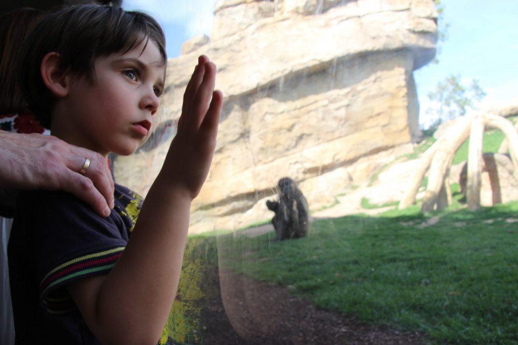 Eric mirando a los gorilas. Bioparc Valencia